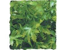 Planta Zoomed cannabis